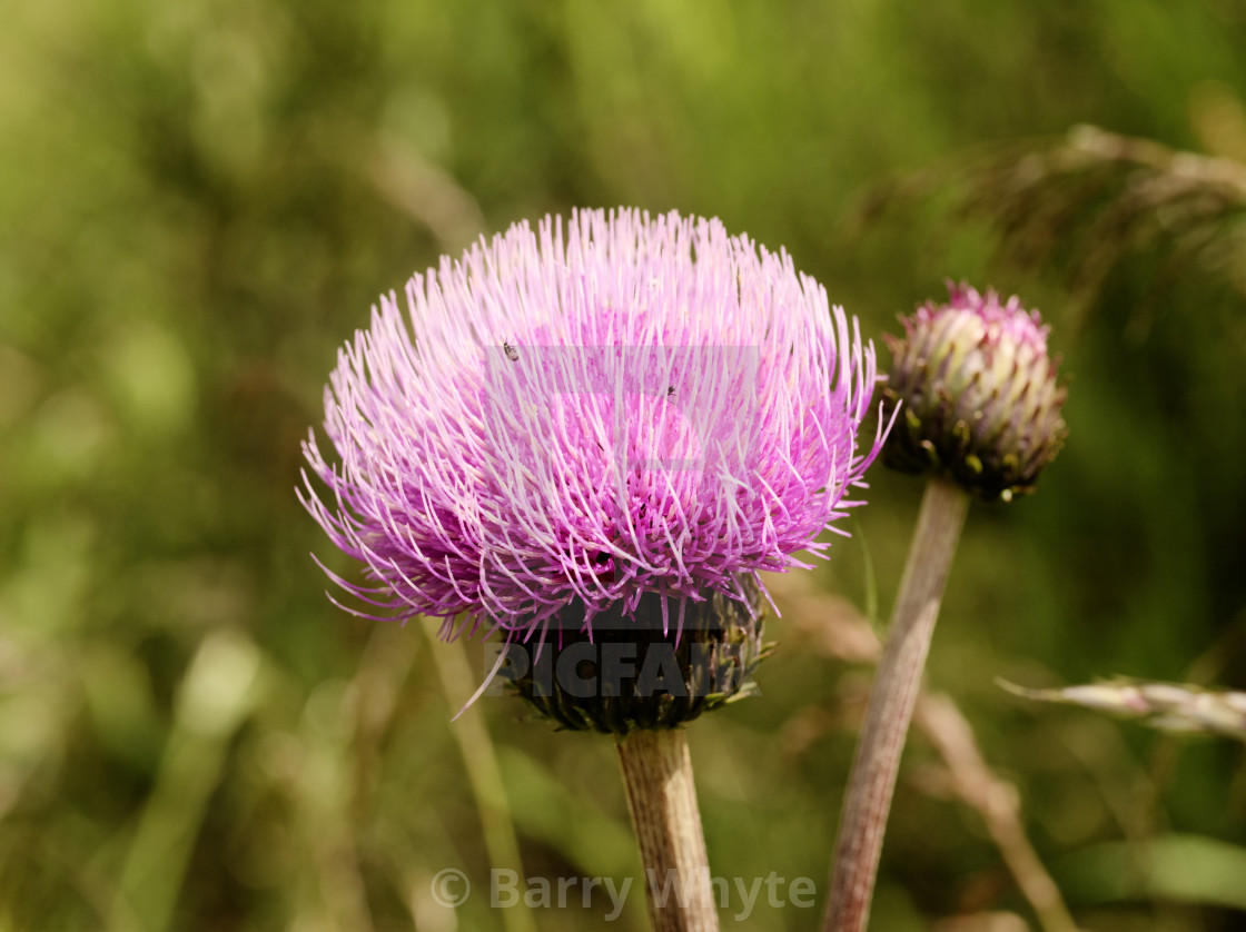 """Melancholy Thistle"" stock image"