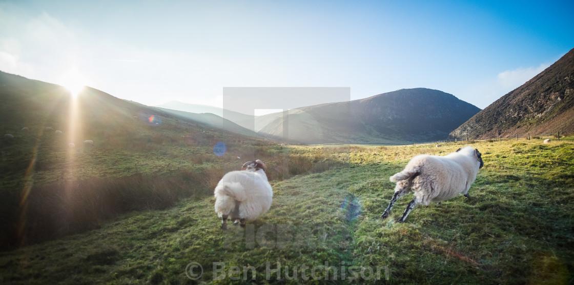 """""""Pentland Sheep"""" stock image"""