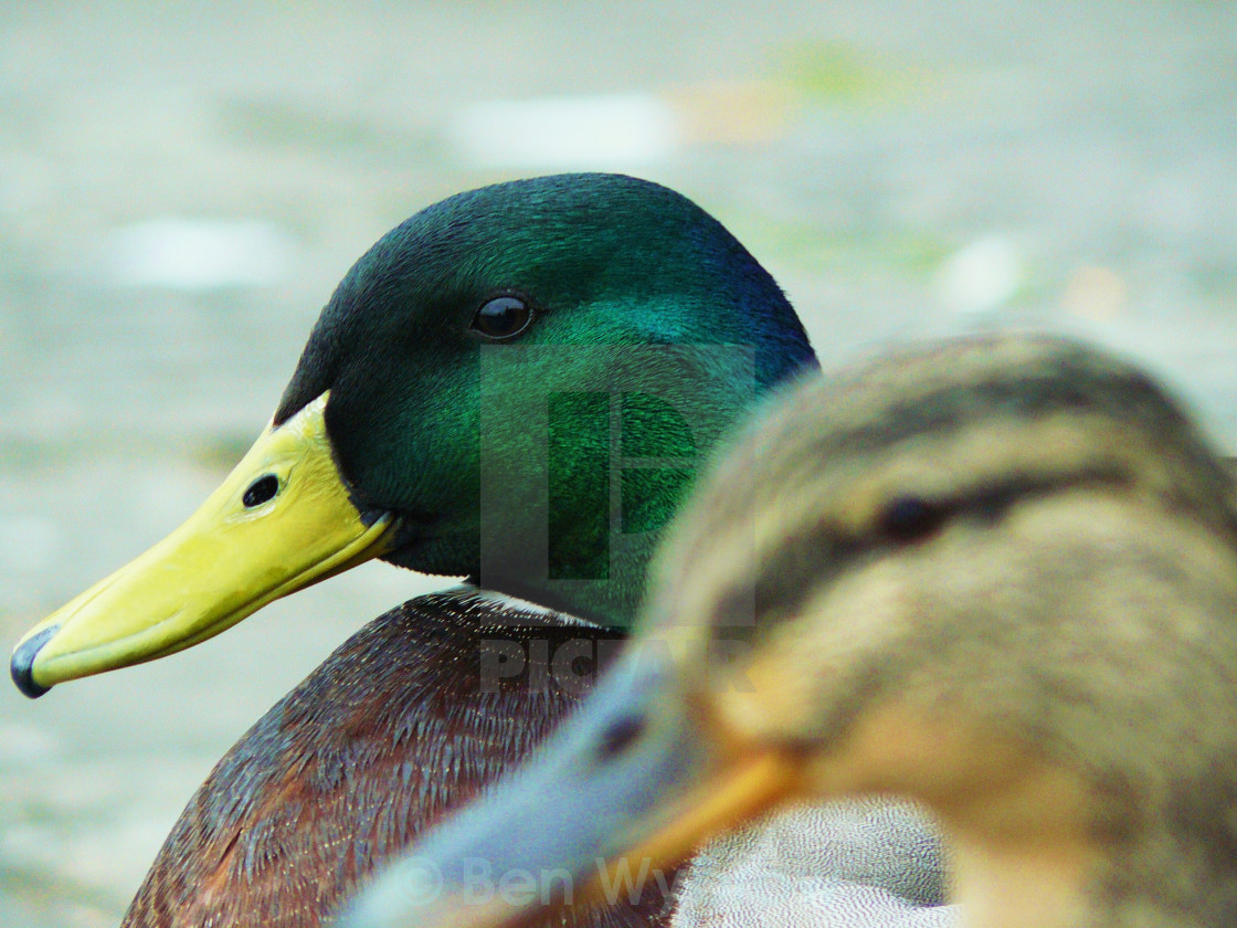 """Ducks"" stock image"