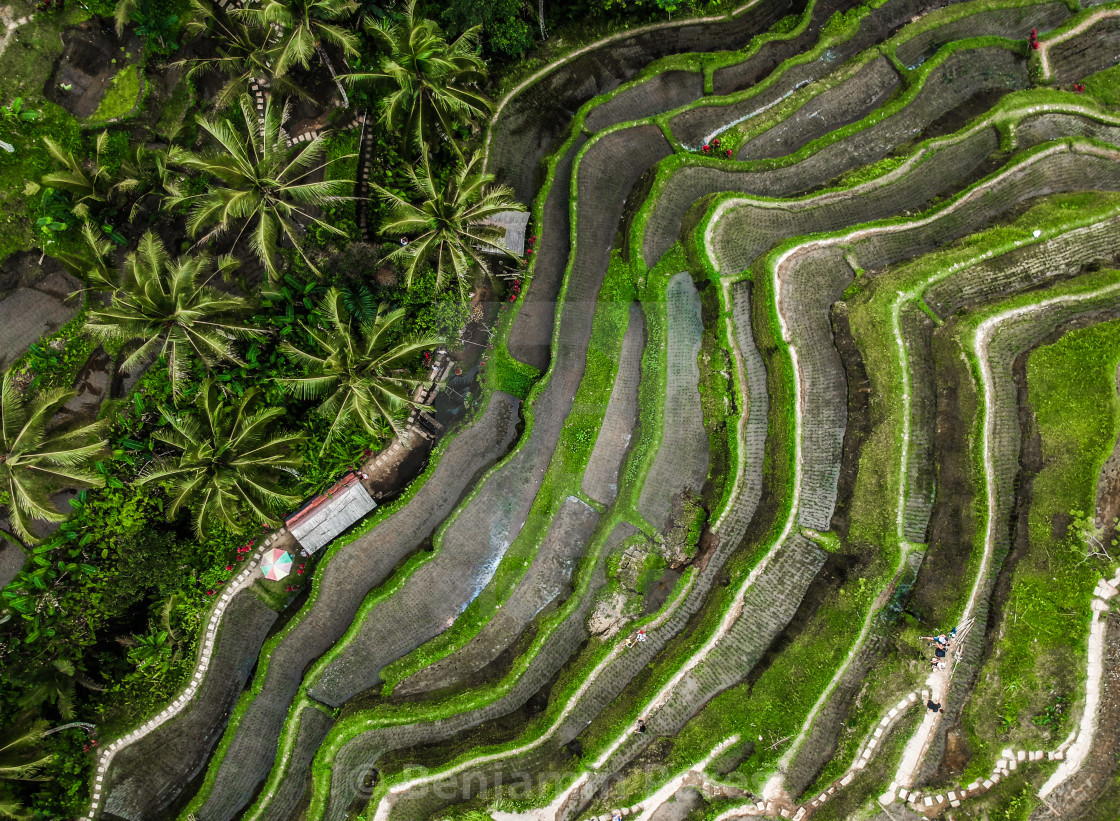 """Indonesian Rice Field Top Down View"" stock image"