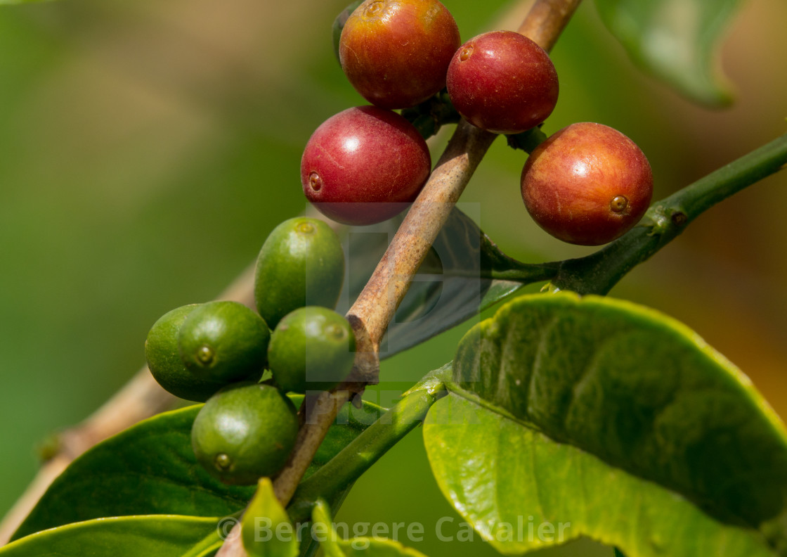 Green Coffee Beans From A Coffea Tree In Omo Valley Ganta