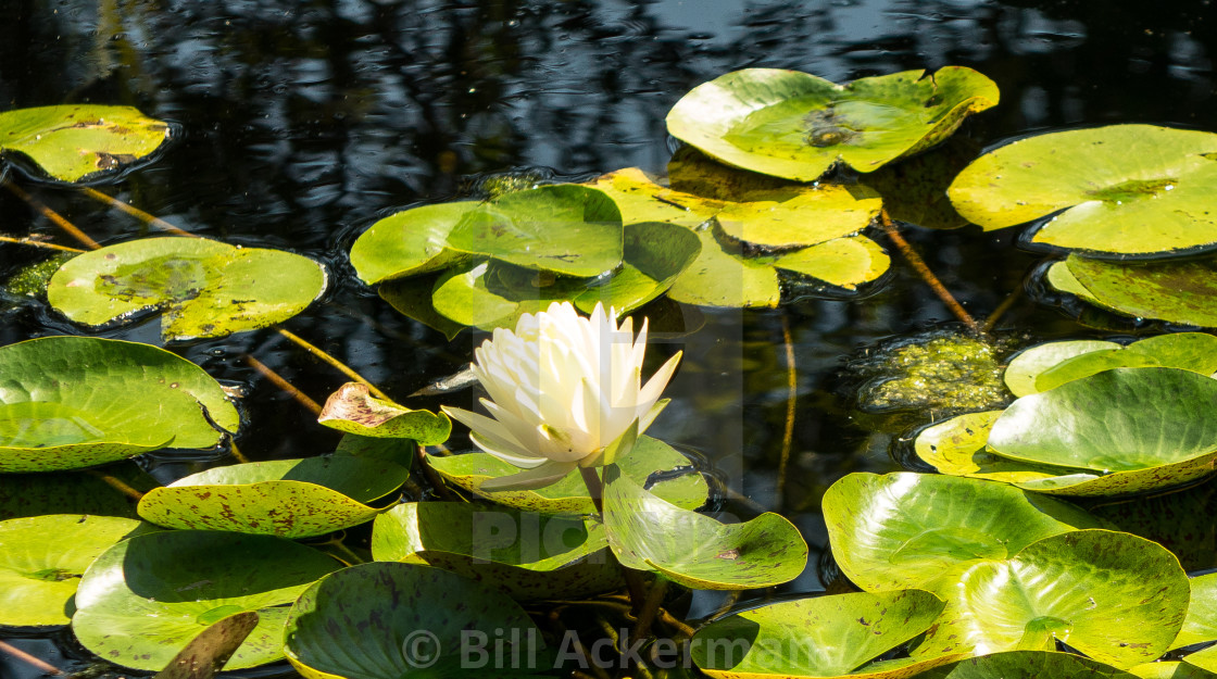 """White Lotus"" stock image"