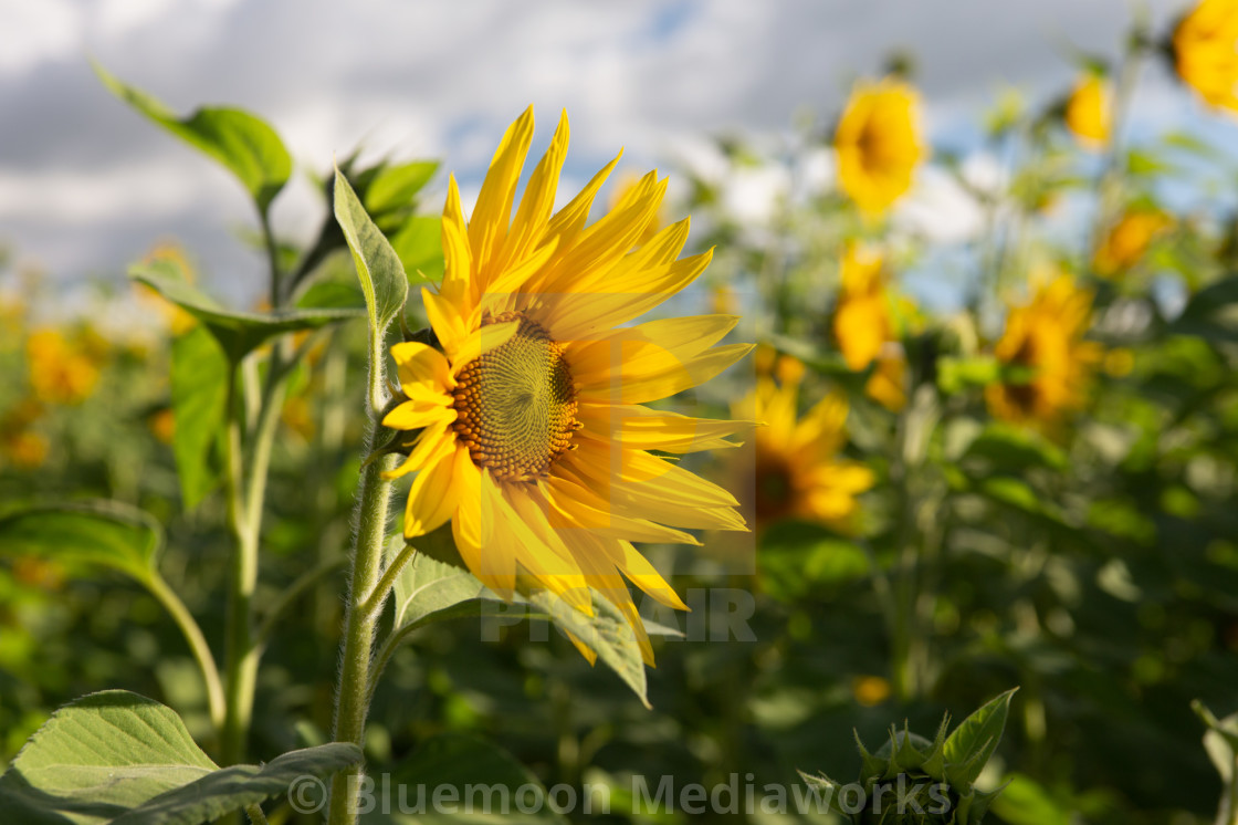 """I'm a sunflower"" stock image"