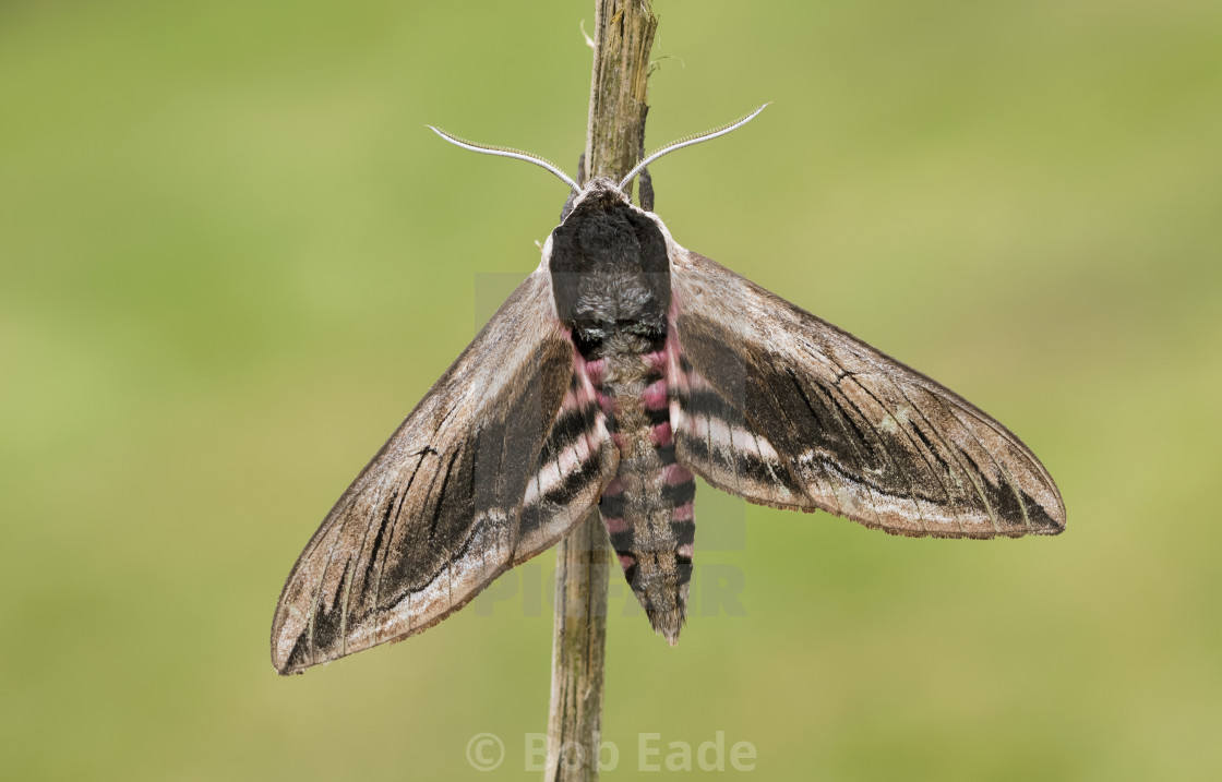 """Privet Hawk-moth (Sphinx ligustri)."" stock image"