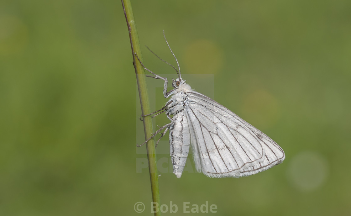 """""""Black-veined Moth (Siona lineata)."""" stock image"""