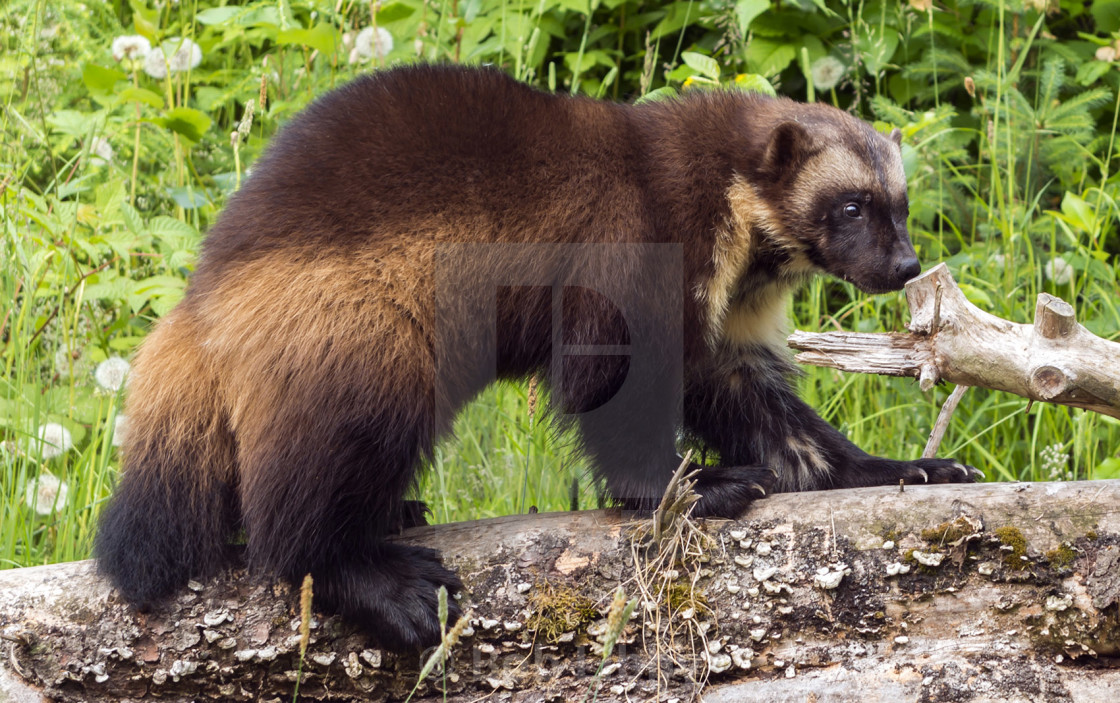 Alaskan Wolverine