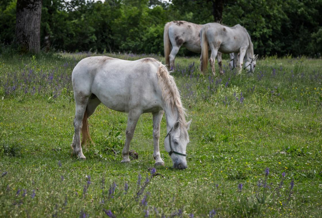 """Lipizzaner horses"" stock image"