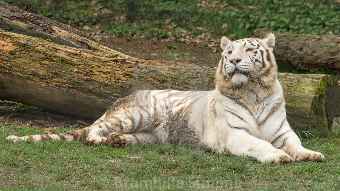 The white tiger or bleached tiger (Tigre bianca del Bengala)