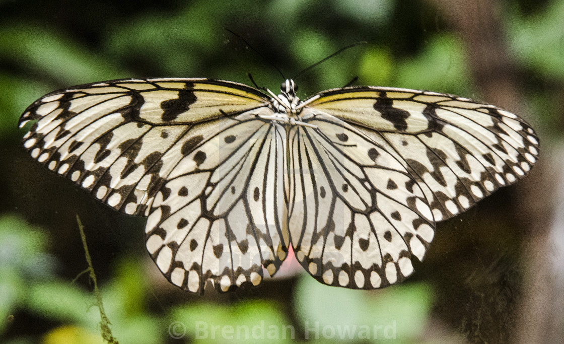 """Tree Nymph Butterfly"" stock image"
