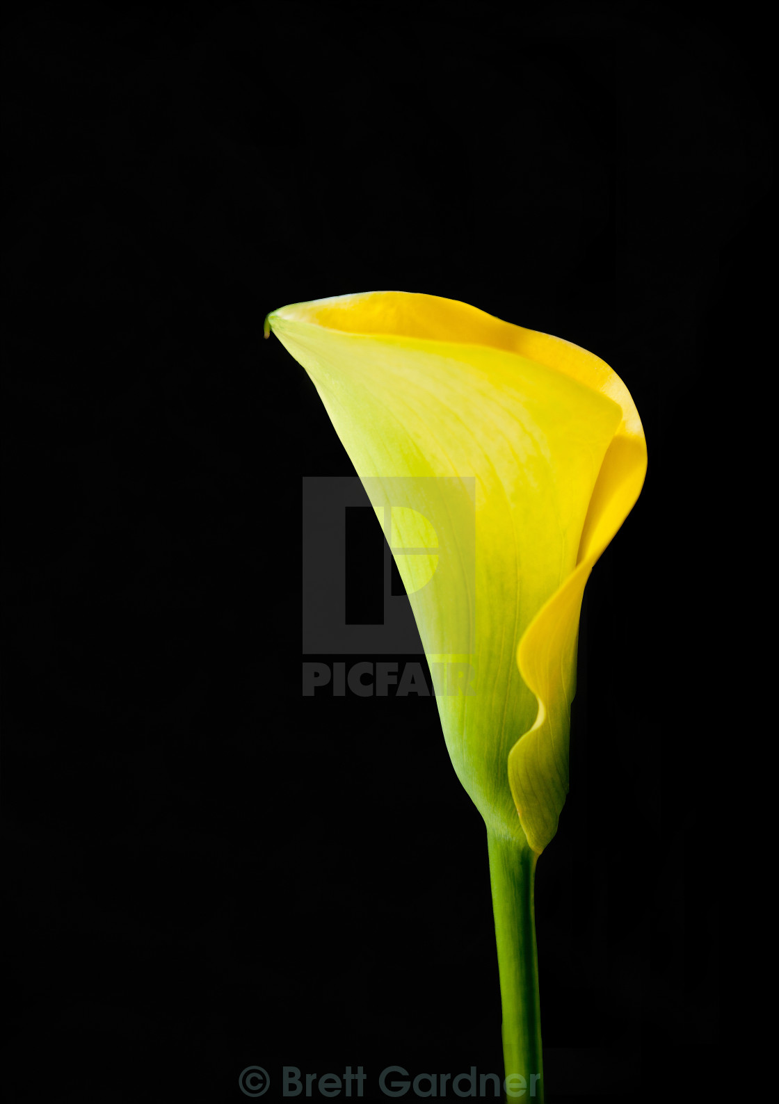 """Yellow Calla Lily"" stock image"