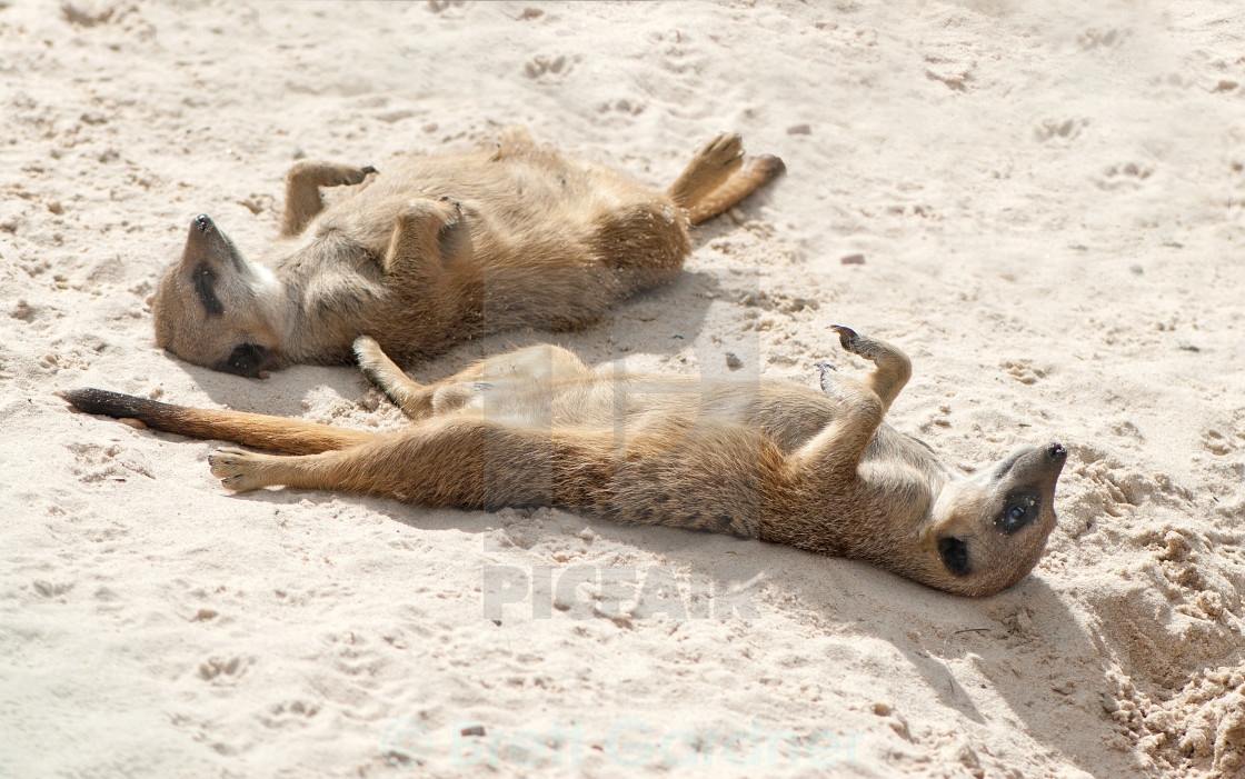 Sleeping Meerkats - Li... Meerkat Pictures To Print
