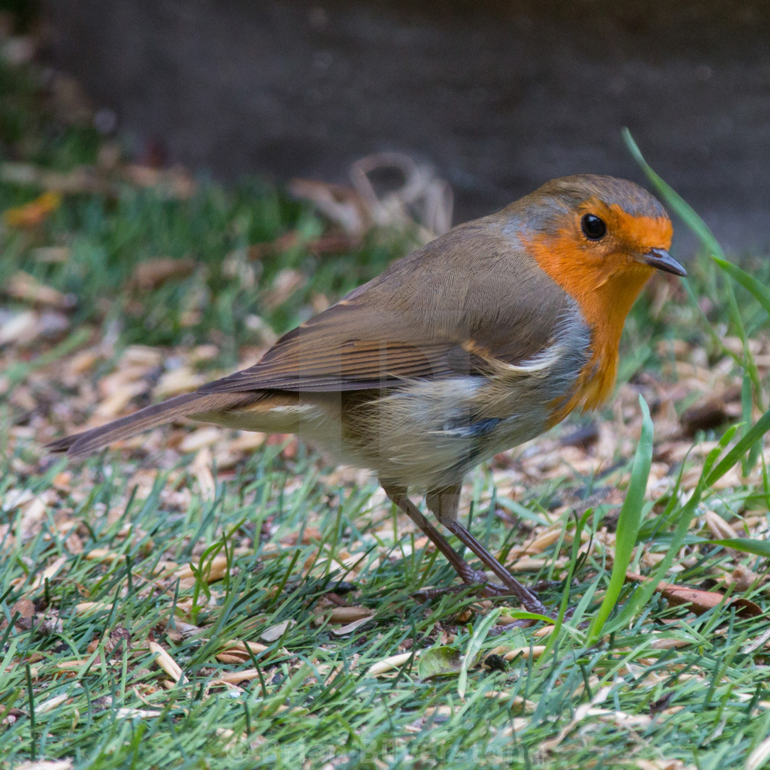 """Robin on the Grass"" stock image"