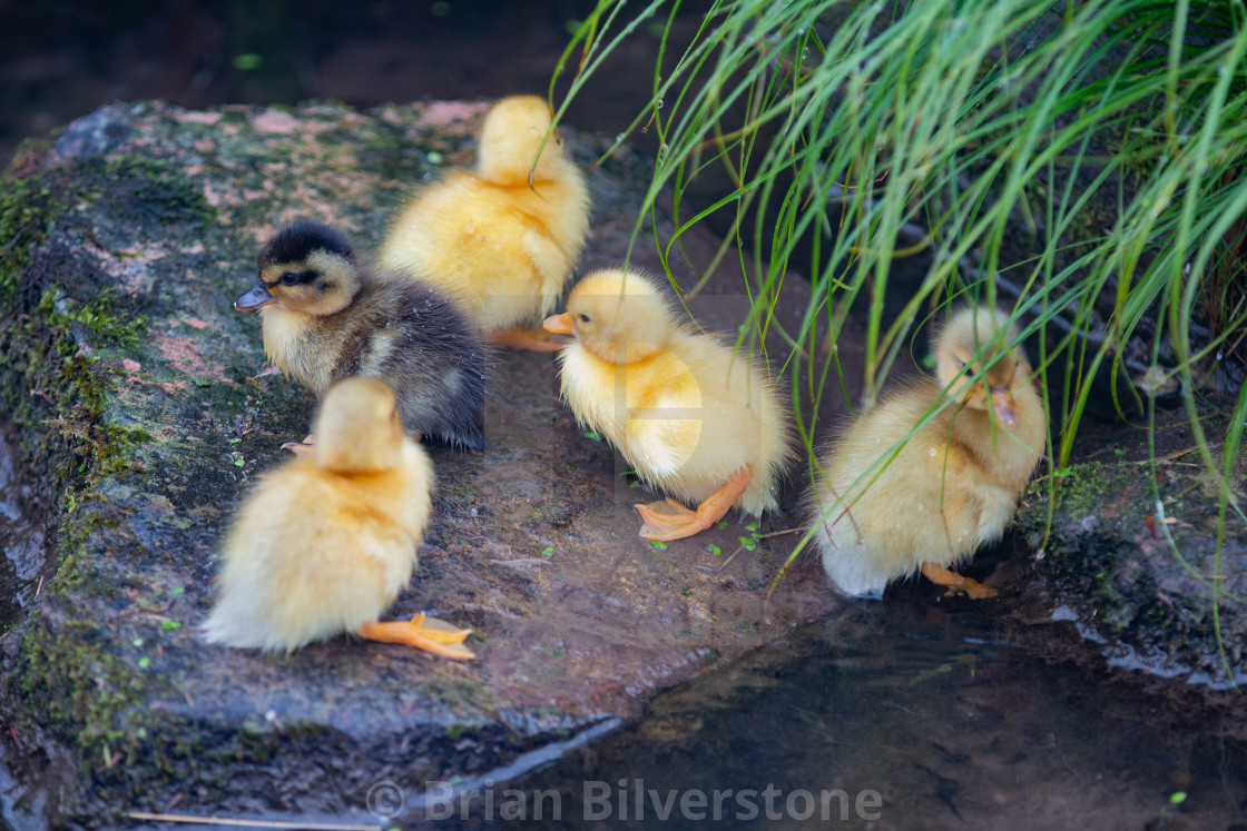 """New Ducklings"" stock image"