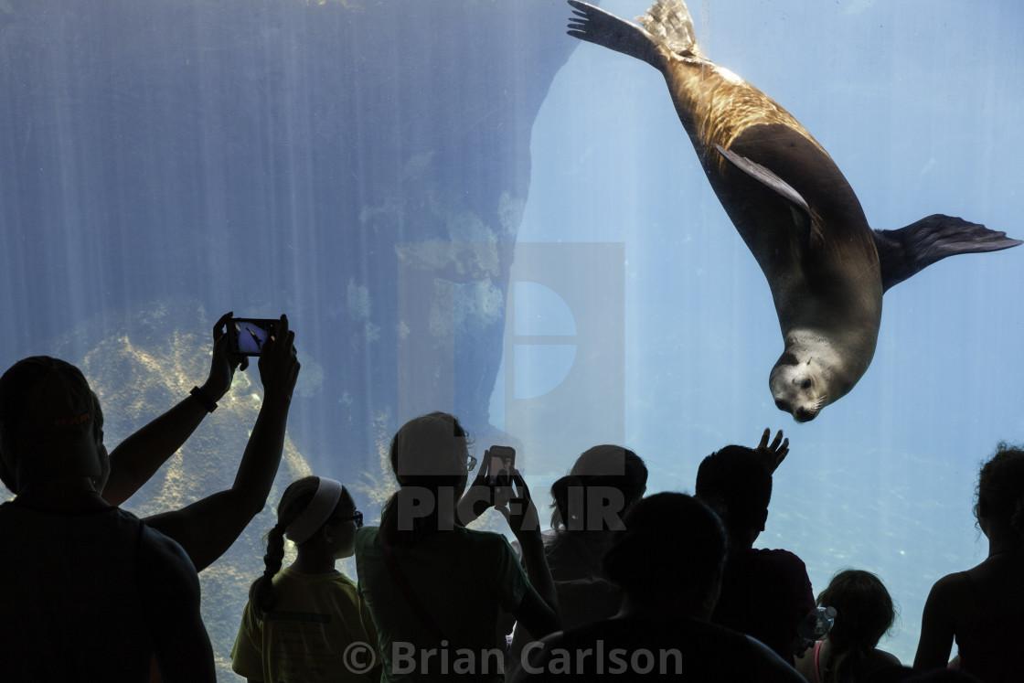 """""""Sea lion in aquarium"""" stock image"""