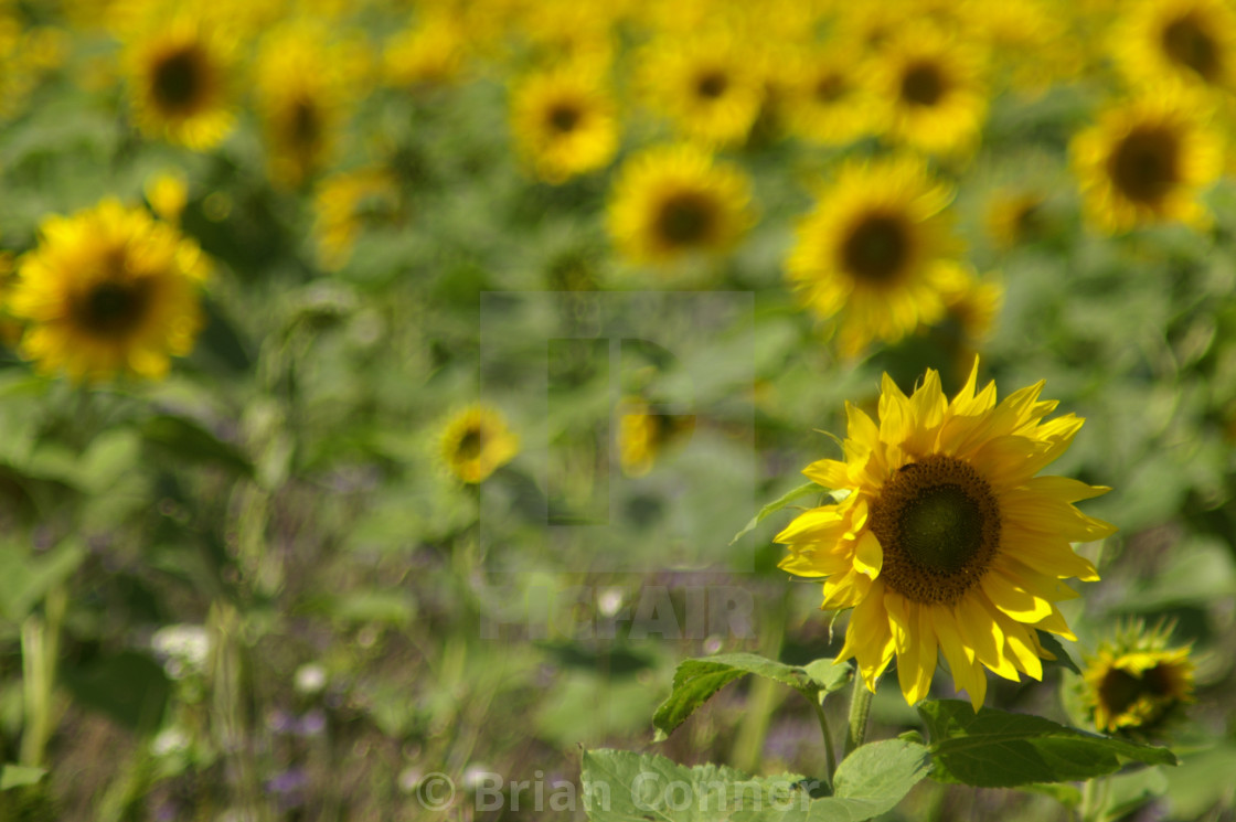 """Field full of Sun"" stock image"