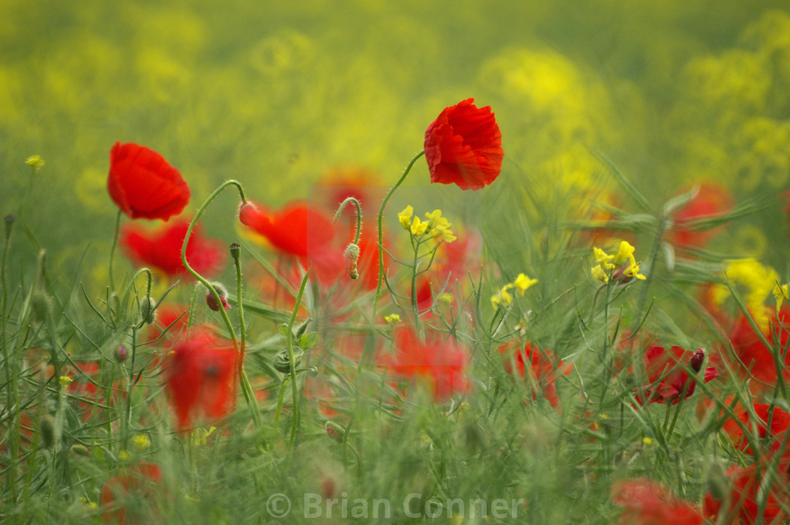 """Summer Poppies"" stock image"