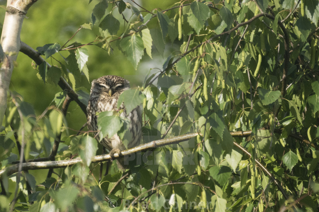 """I spy a Little Owl"" stock image"