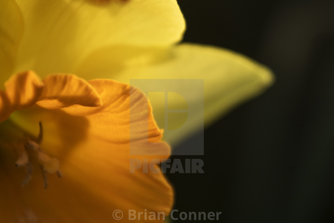 """Daffodil at dusk"" stock image"