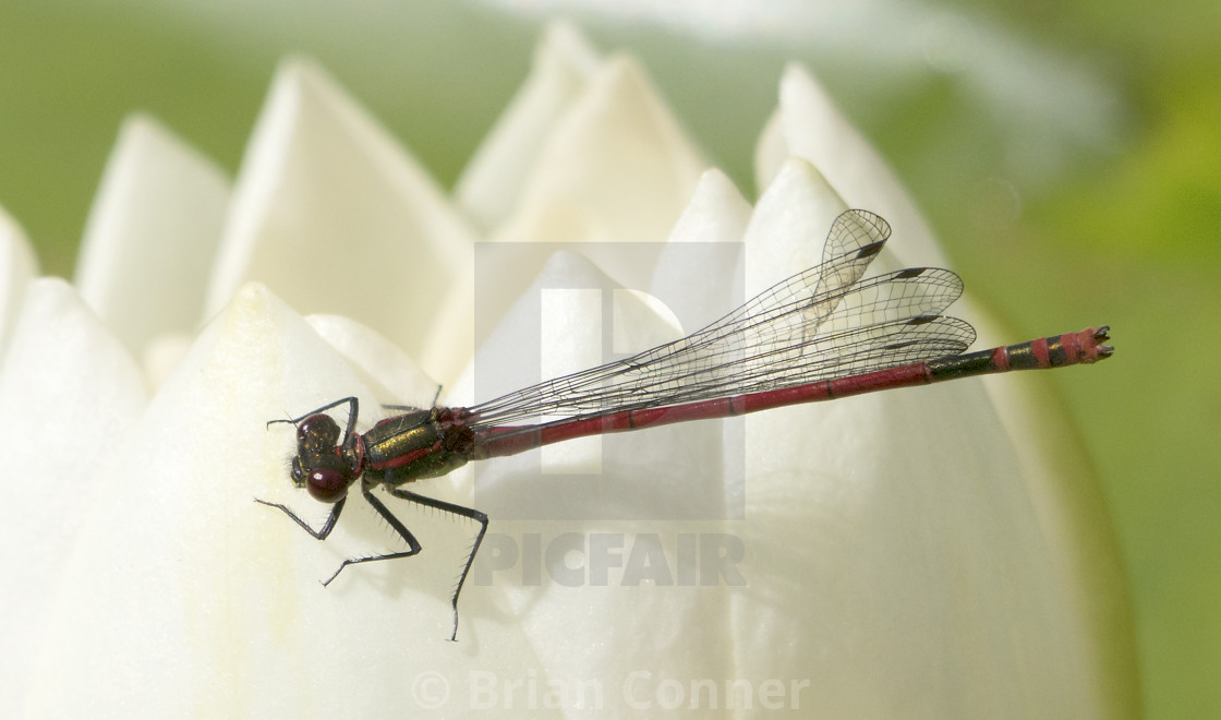 """""""Damsel and water lily"""" stock image"""