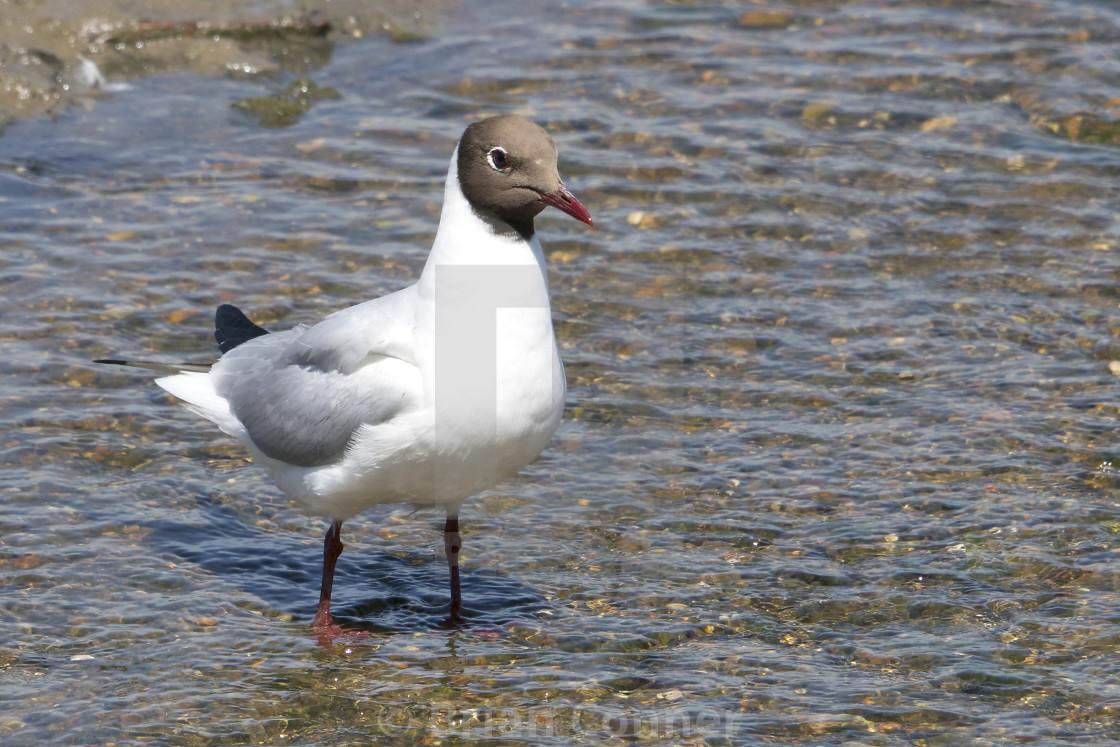 """Wading gull"" stock image"