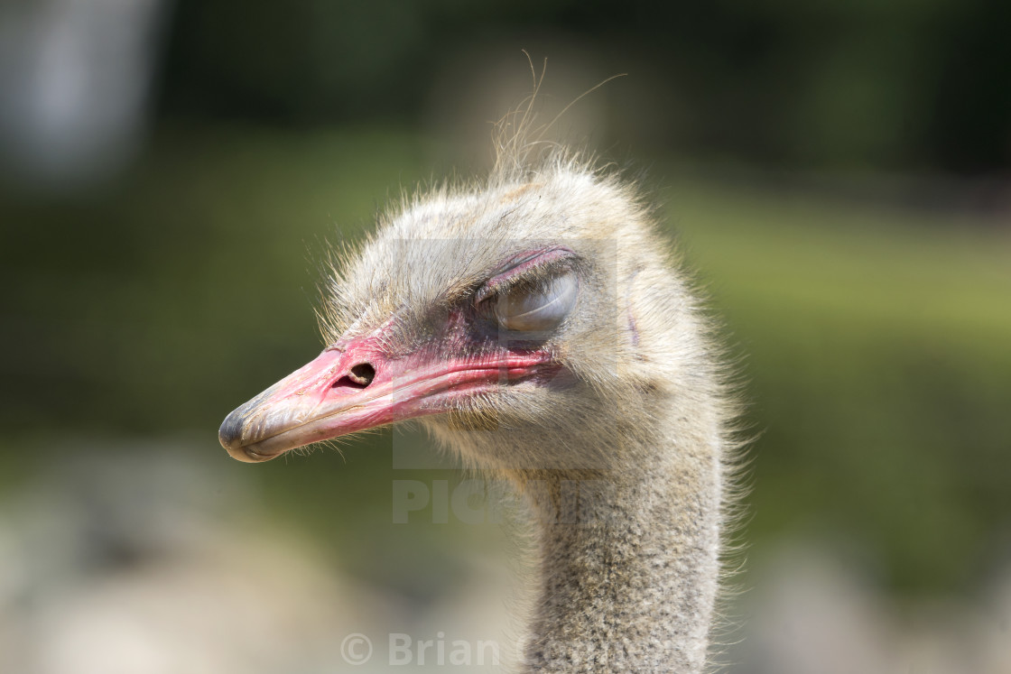 """Sleeping Ostrich"" stock image"