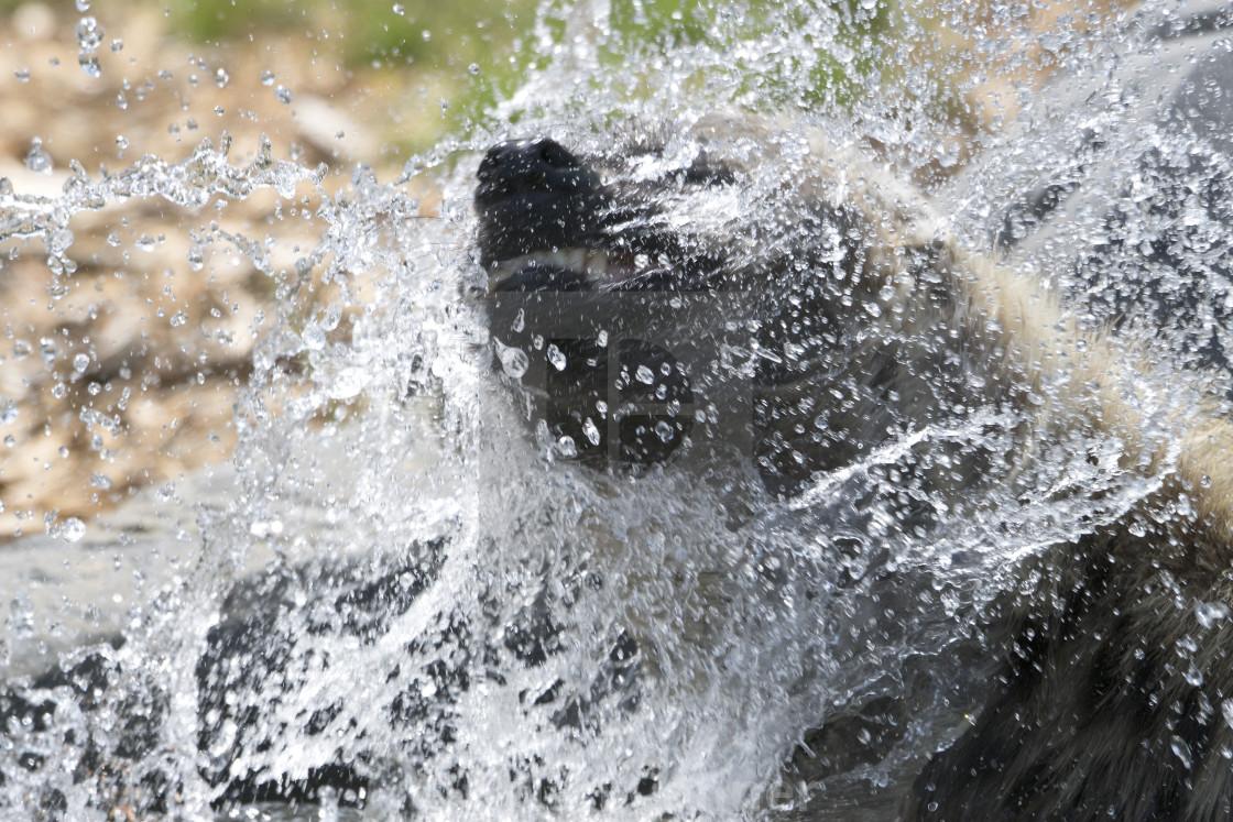 """Hyena bath time"" stock image"