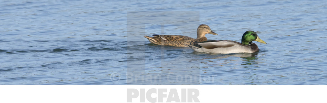 """Mr and Mrs Duck"" stock image"