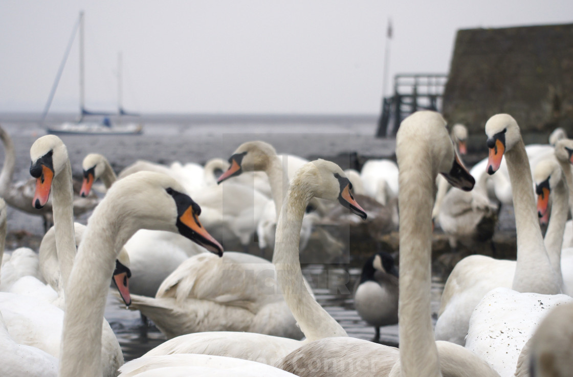 """A swan party"" stock image"