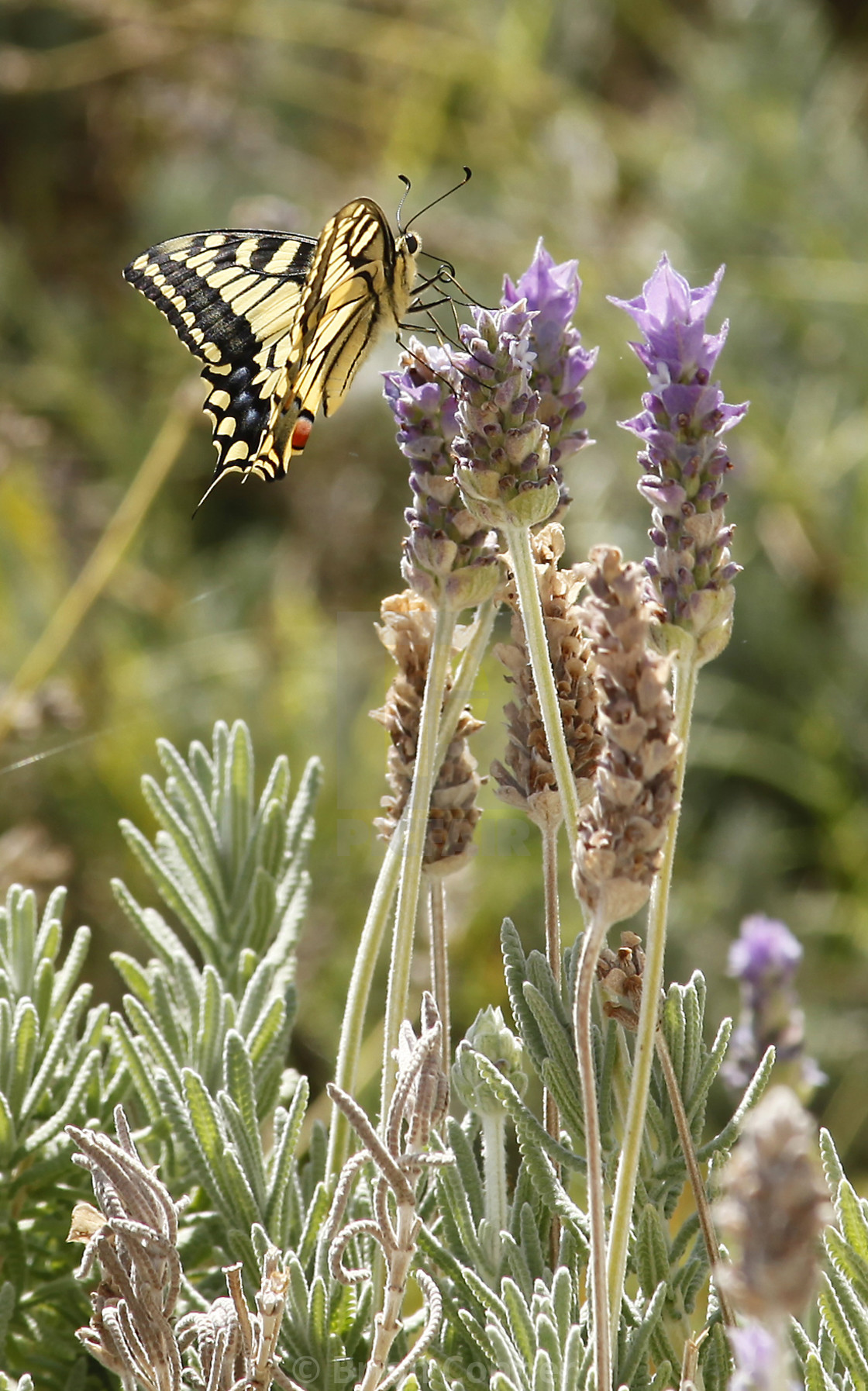 """Swallowtail butterfly"" stock image"