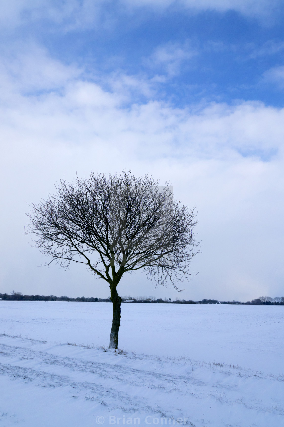 """Small Oak in the snow."" stock image"
