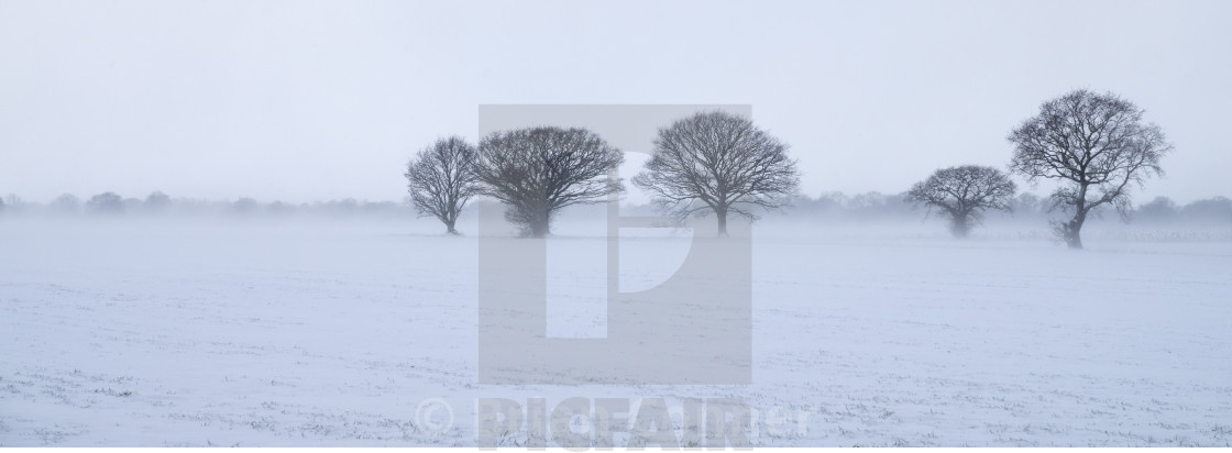 """Oaks in a snowy landscape."" stock image"