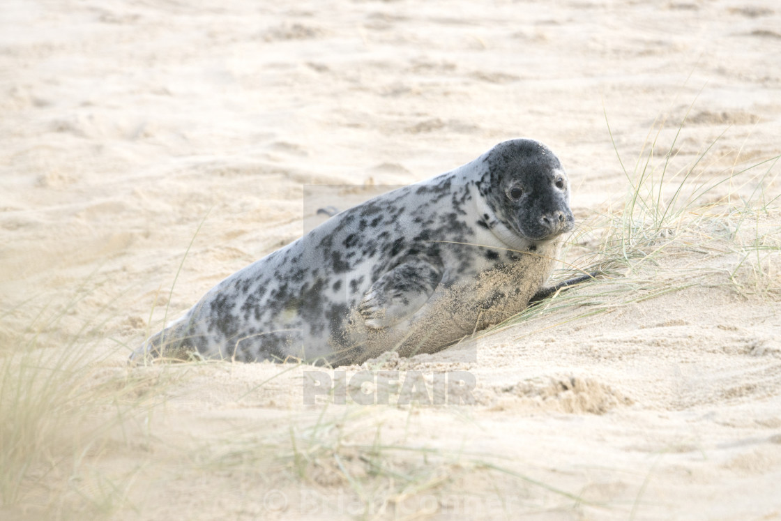 """Seal on the beach."" stock image"