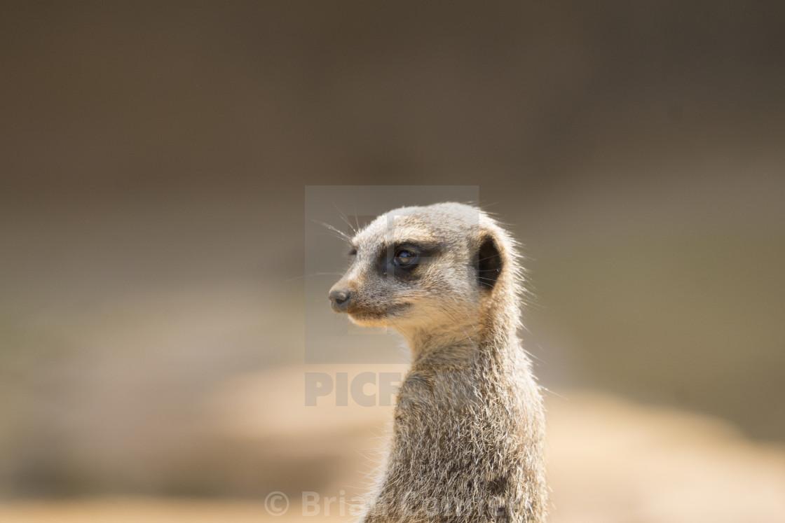 """Meerkat on guard."" stock image"