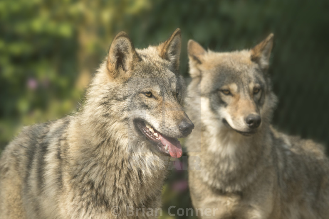 """Wolf pair"" stock image"