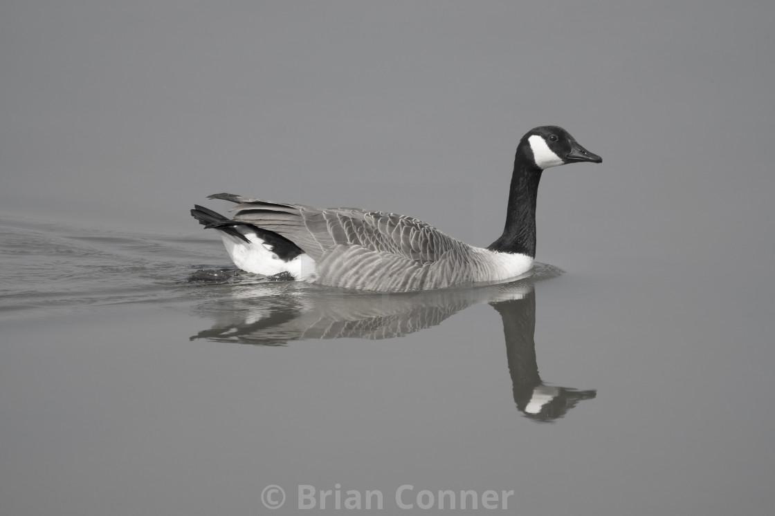 """Canada Goose"" stock image"