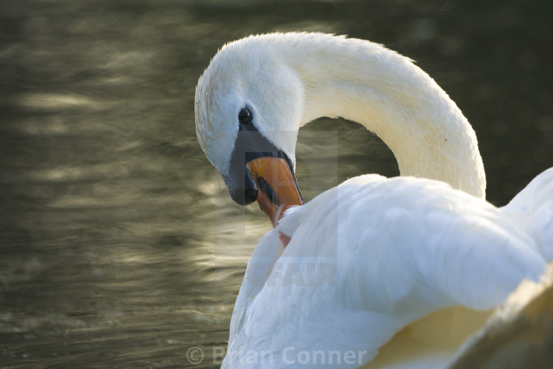"""Beautiful Swan"" stock image"