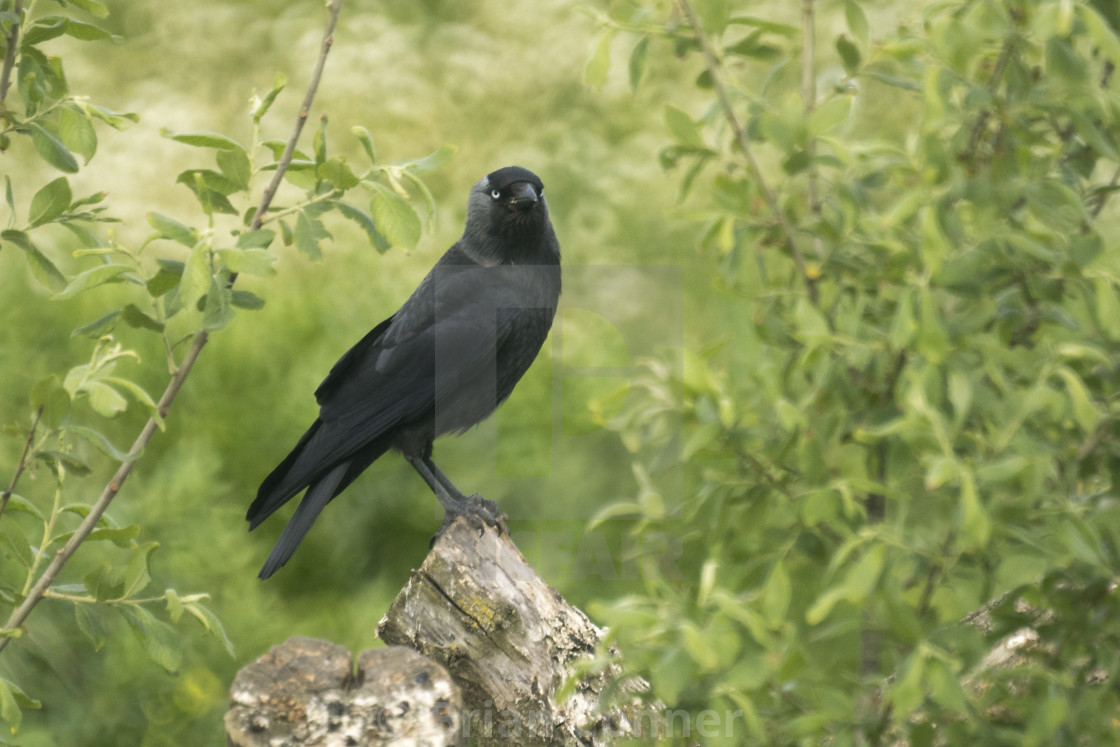 """""""Jackdaw's roost"""" stock image"""