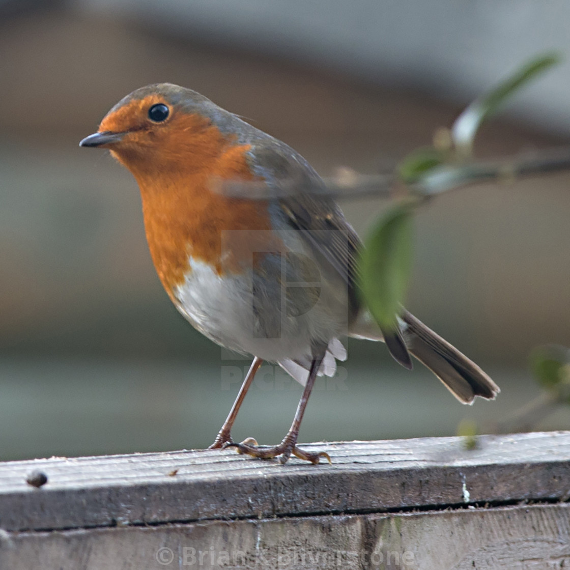 """Cheeky Robin"" stock image"