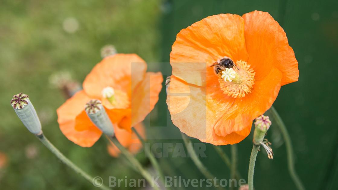 """""""Poppy Bee"""" stock image"""