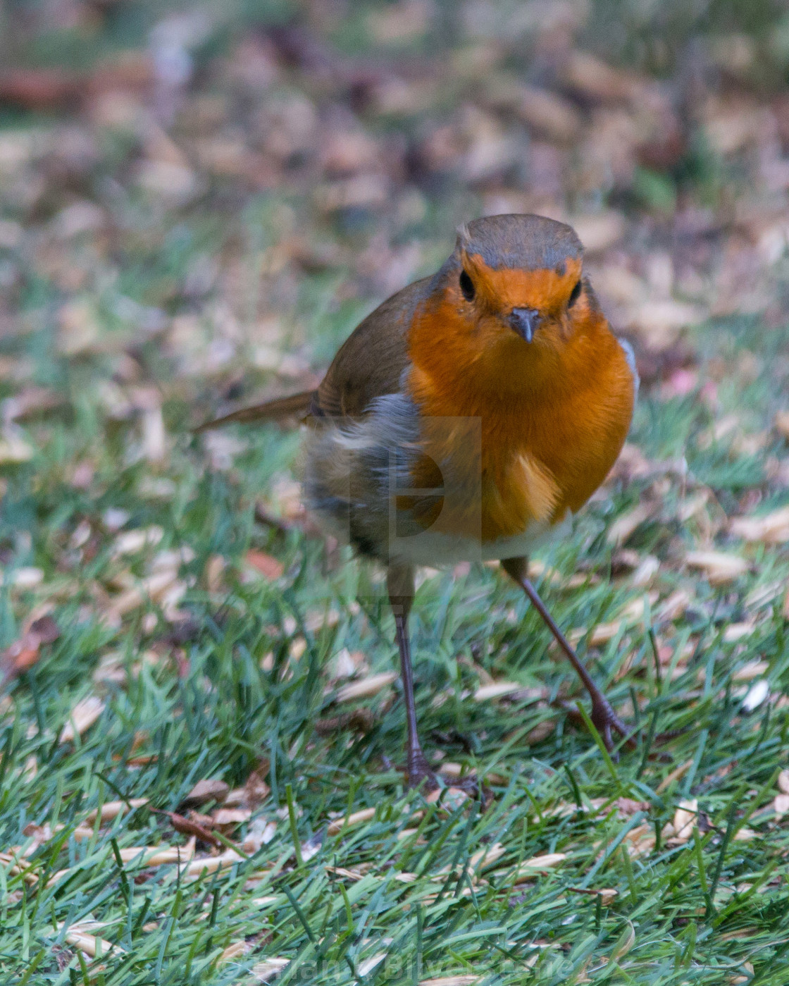 """Curious Robin"" stock image"