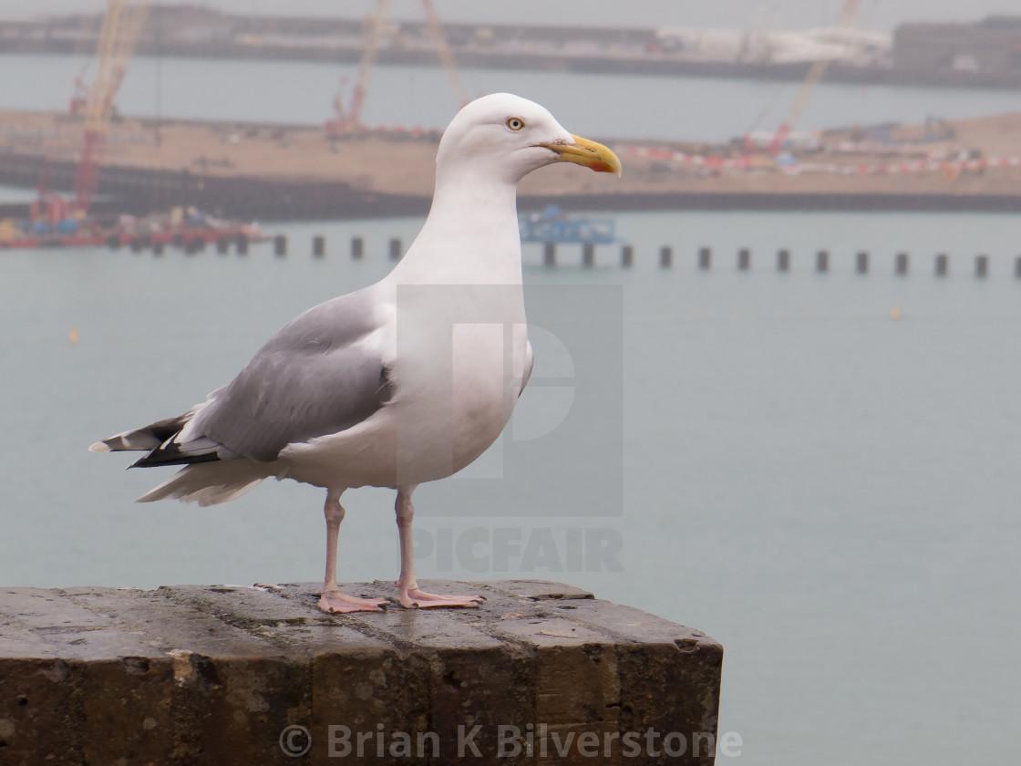 """Herring Gull at Dover"" stock image"