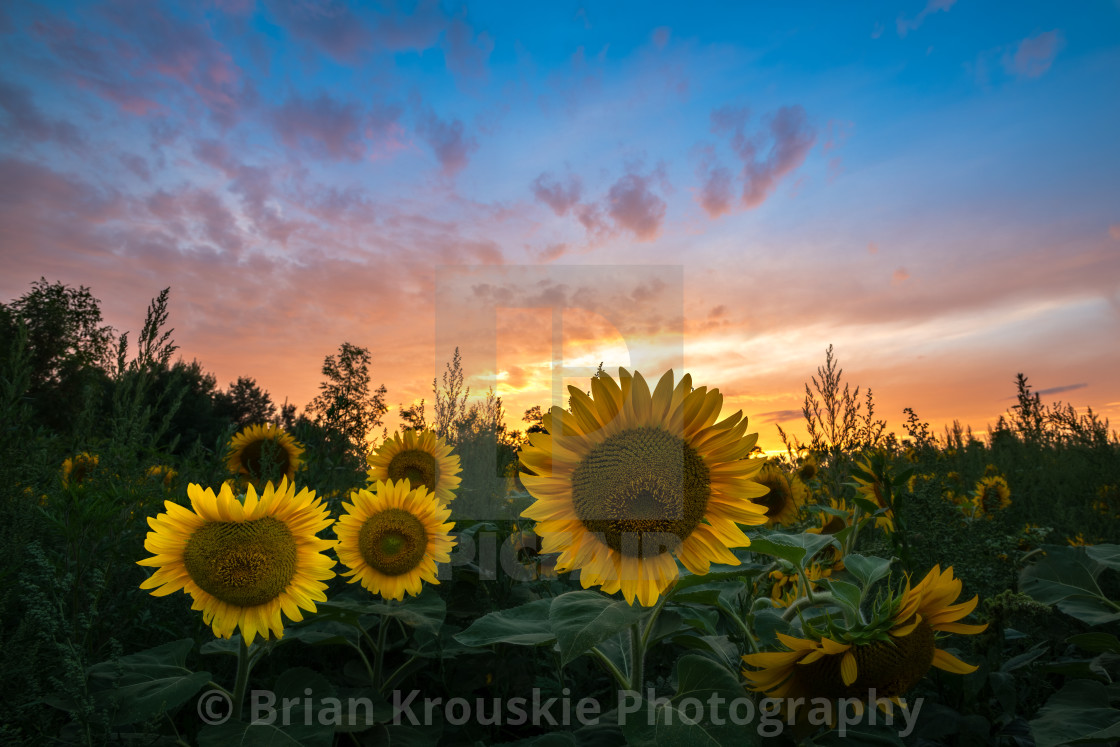 """Sunflower Sunset"" stock image"