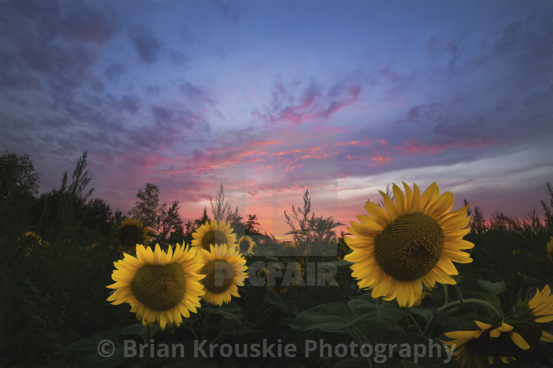 """Sunflower Sunset II"" stock image"