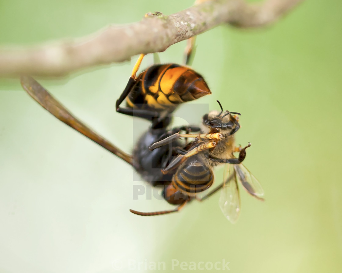 Hornet and the bee