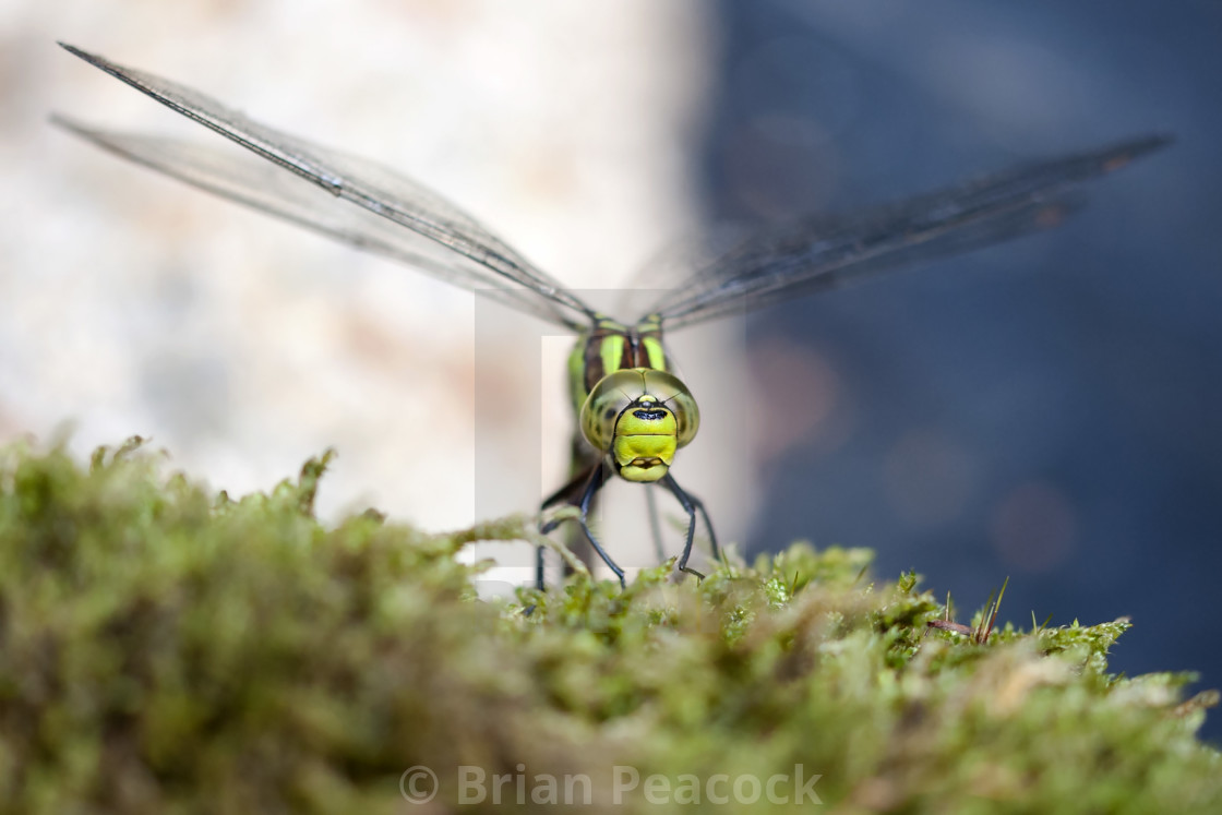 """Southern Hawker close up"" stock image"