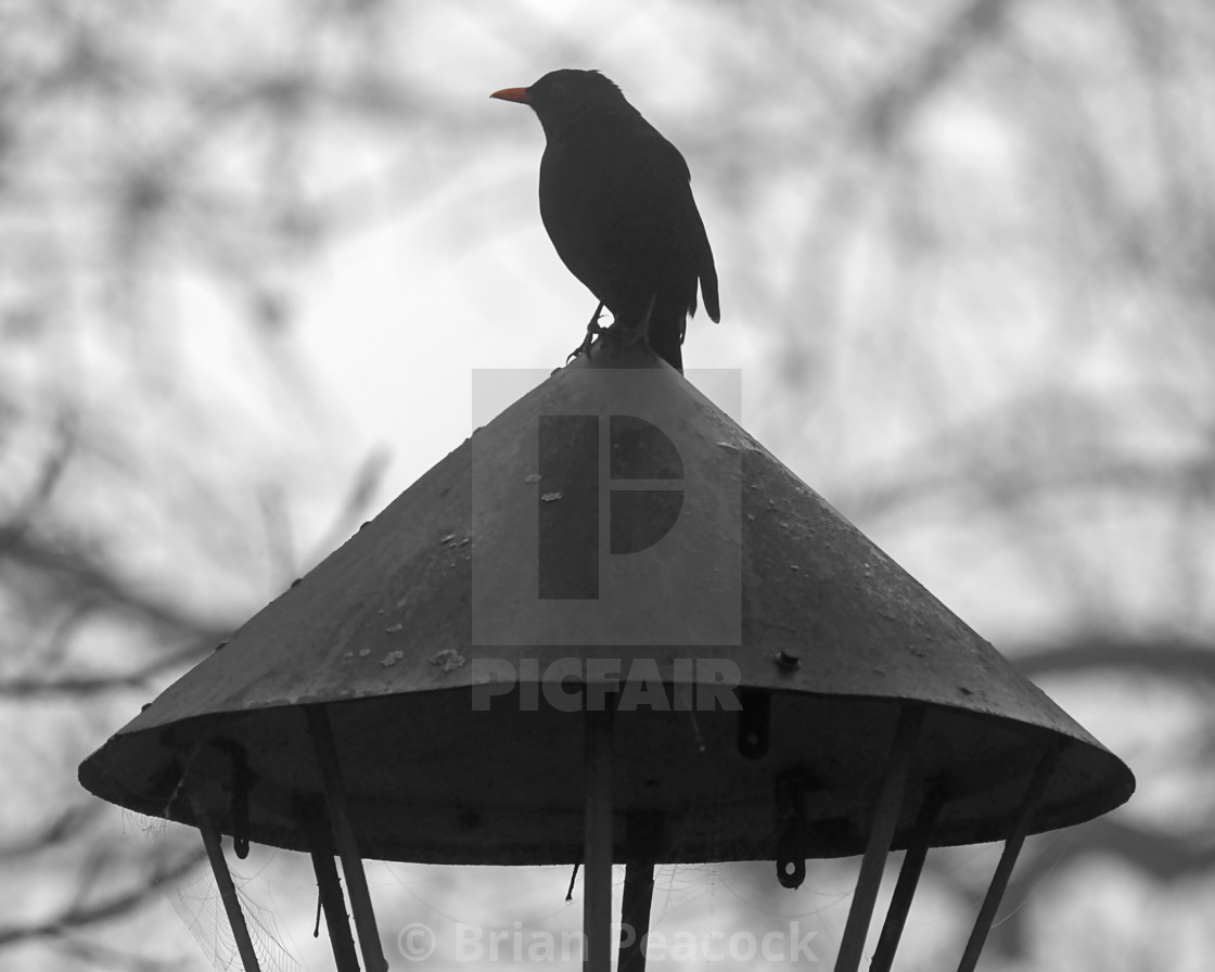 """The Blackbird"" stock image"