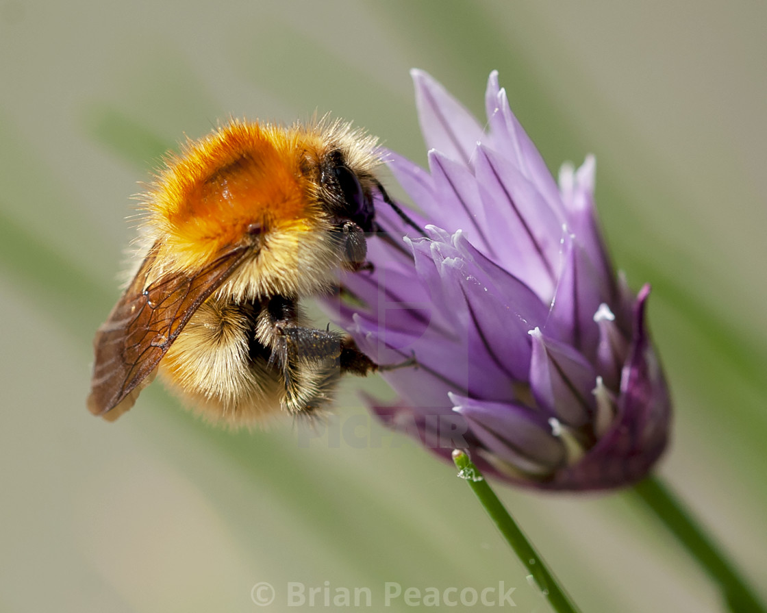 """""""Bee - Chive"""" stock image"""