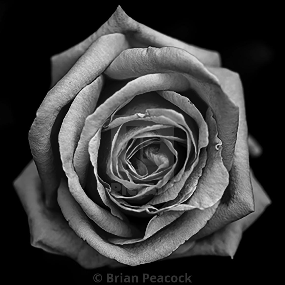 """Rose BW"" stock image"