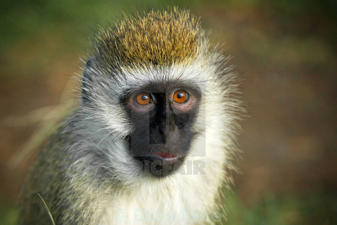 """Tiny Vervet Monkey in Naivasha, Kenya."" stock image"