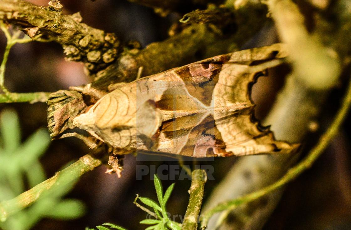 """Angle Shades - Phlogophora meticulosa"" stock image"